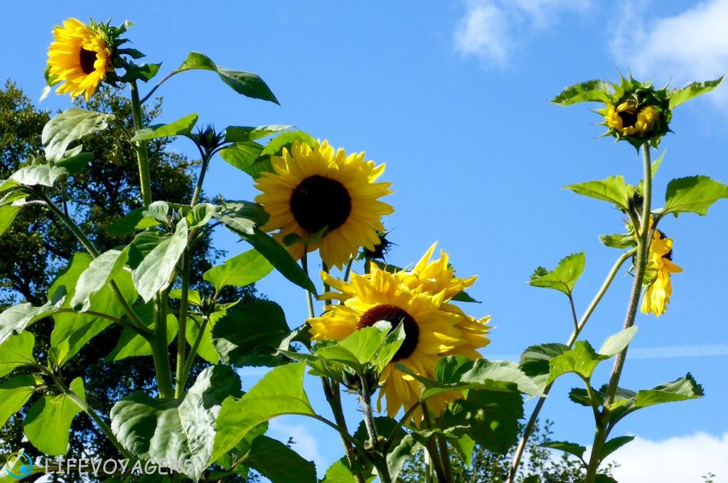 N_Sonnenblumen