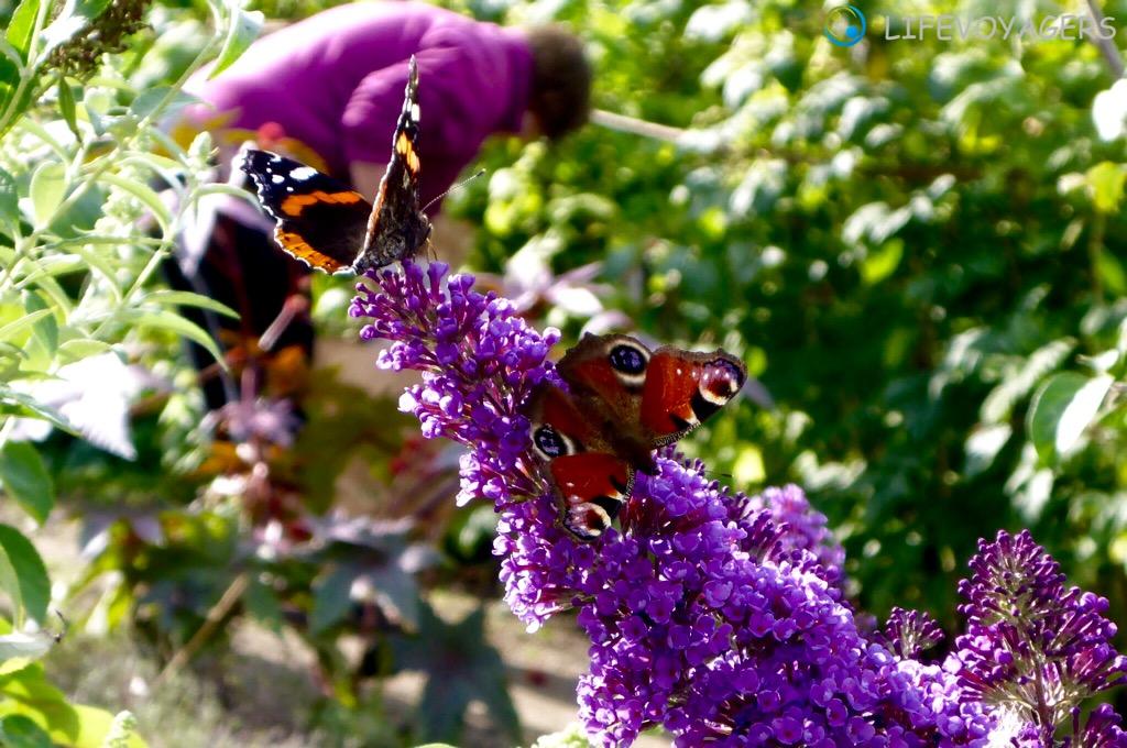 O_Schmetterlinge