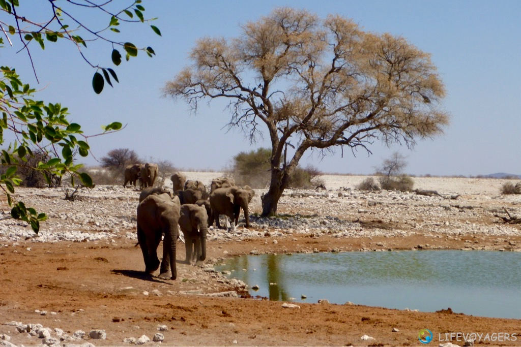 Pure Awe There It Comes The First Part Of A Very Big Herd Elephants To Water Hole In Rest Camp Okaukueju Etosha National Park